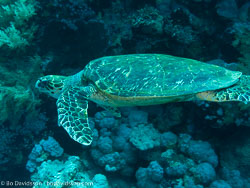 BD-090406-St-Johns-4062836-Eretmochelys-imbricata-(Linnaeus.-1766)-[Hawksbill-turtle.-Karettsköldpadda].jpg